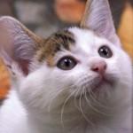 猫エイズに感染している猫を、先住猫と同居させる場合