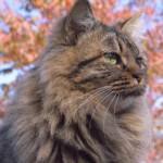 スタッドテイルの猫は尻尾の付け根がベトベトに汚れちゃう?