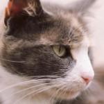 猫も痛い「尿路結石」