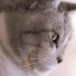 猫のお腹が膨れるときは要注意!重大な病気の可能性も
