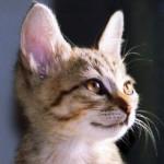 「耳も口ほどに物を言う!」猫の耳が表すいろいろな気持ちについて
