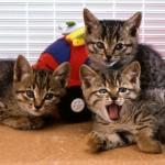 ペット保険に入れる?入れない?尿路結石の治療歴のある猫