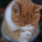猫のお腹にしこり。乳腺腫瘍の可能性も!