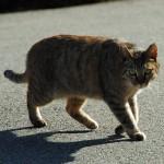 尿路結石で悩む猫に良い効果!メチオニンのサプリメント