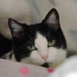 猫の声が出なくなってしまった!咽頭炎について。