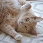 猫が仰向けになる意味とは?コロッとお腹を見せるとき。