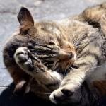 猫が顔を洗う目的とは?洗いすぎは要注意?!
