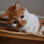 人なつこいレン【我が家の猫たち紹介】