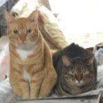 新聞の上に乗ってくる猫