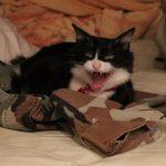 猫の骨髄炎。骨まで達するケンカ傷から細菌感染して炎症!